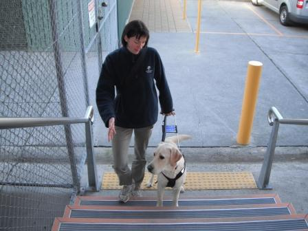 Trainer with Seeing Eye Dog working on climbing stairs