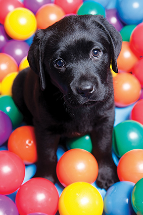 Black Labrador puppy surrounded by colourful toy balls