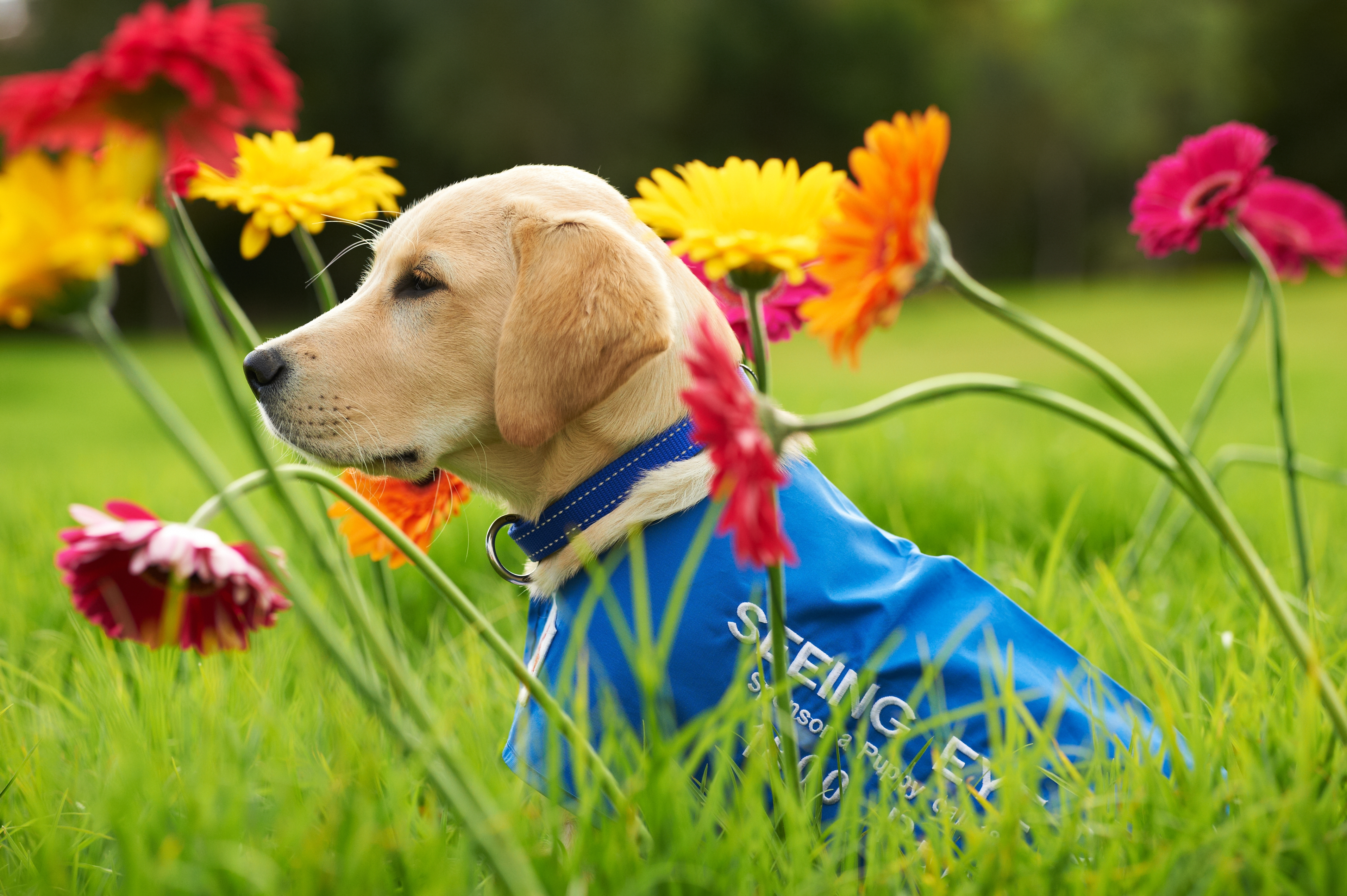 Puppy in coat sitting in a field with flowers