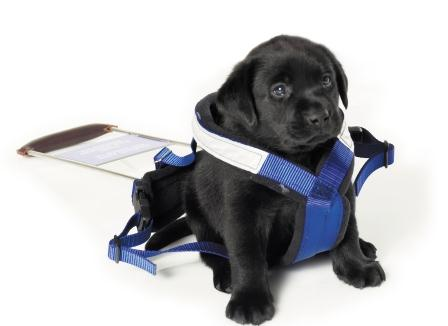 Labrador puppy sitting in a grown and oversized Seeing Eye Dog's guide harness.